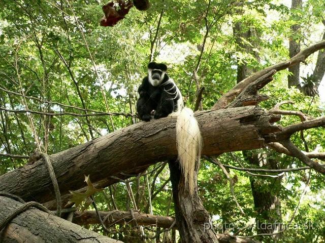 Congo Gorilla Forest Bronx Zoo New York Congo 12