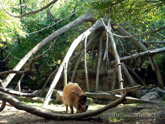 Congo Gorilla Forest Bronx Zoo New York Congo Exp 2 B